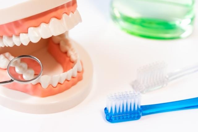 歯周病説明のための歯のモデル